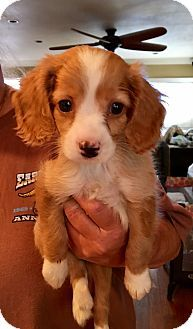 Carson, CA - Cocker Spaniel/Beagle Mix. Meet SWEET PETE, a puppy for adoption. http://www.adoptapet.com/pet/18507194-carson-california-cocker-spaniel-mix