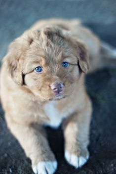 Nova Scotia Duck Tolling Retriever--- I need to find one of these ! But do I have to go to Nova Scotia? Cute Puppies, Dogs And Puppies, Pet Dogs, Dog Cat, Doggies, Baby Animals, Cute Animals, Nova Scotia Duck Tolling Retriever, Tier Fotos