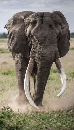 """""""Gentle Giant"""" by Sushmitha Reddy: Amboseli National Park is famous for the majestic African elephants. I got lucky when this massive bull came close to our vehicle on one of our game drives."""