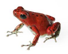 Dendrobates pumilio: Panama's Dendrobates pumilio, also known as the Strawberry poison frog, acquires toxins for its poisonous skin secretio...