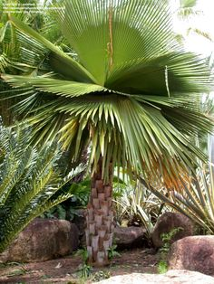 Full size picture of Cuban Petticoat Palm (Copernicia macroglossa)