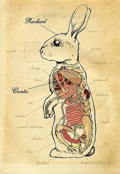 Rabbit anatomy by Heather Tompkins Animal Anatomy, Anatomy Art, Horse Anatomy, Medical Illustration, Illustration Art, Rabbit Anatomy, Illustrations Médicales, Lapin Art, Rabbit Art