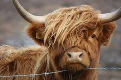 """Now one of our faves too :) RT One of my favourite images of a highland cow taken on Isle of Harris"" Highland Cow Art, Scottish Highland Cow, Highland Cattle, Cute Cows, Cute Funny Animals, Cow Pictures, Animal Pictures, Long Haired Cows, Fluffy Cows"