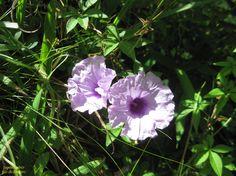 https://flic.kr/p/ScMv6u   Duas   Duas pequenas flores na beira do caminho. Mendes-RJ