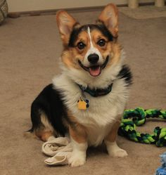 A happy dog is a dog with one of his Daddy's socks.