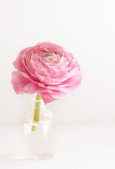 a perfect rosy rose
