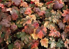 HEUCHERA ~~~ French Quarter ~~ A stunning new Heuchera introduction from Terra Nova Nurseries that has highly contrasting leaf coloration with variable mottling and compact plant habit.