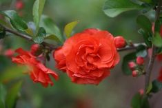 """Orange Storm Double Take Flowering Quince Chaenomeles """"orange storm"""" 'Orange Storm' is a flowering quince that is noted for producing an early spring bloom of double orange flowers that resemble camel Garden Shrubs, Flowering Shrubs, Trees And Shrubs, Garden Privacy, Sun Garden, Garden Gate, Fruit Garden, Garden Seeds, Shade Garden"""