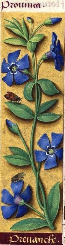 La petite pervenche bleue (Vinca minor)