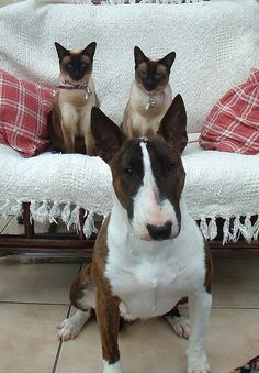 #Bull #Terrier and Co
