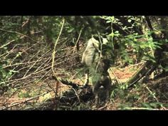 """▶ The Unseen Tribes """"Best Bigfoot documentary ever"""" - YouTube"""