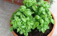 Cultivar albahaca en casa. ¿Cómo hacerlo correctamente?