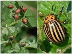 Comment Planter, Farm Gardens, Eggplant, Colorado, Nature, Plants, Gardening, Projects, Decor