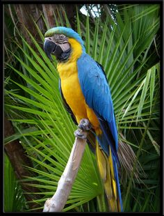 Blue and Gold Macaw.