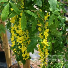 Laburnum Pendula is small tree with an interesting weeping habit. Buy quality trees online for fast UK delivery with a 2yr guarantee!