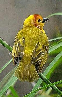 Taveta Golden Weaver.Ave tejedora. Habita en el área sur de Kenya hasta la parte central del norte de Tanzania, Africa