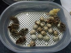 9 hatchling quails. The incubator is basic, but fully automatic and does the job.
