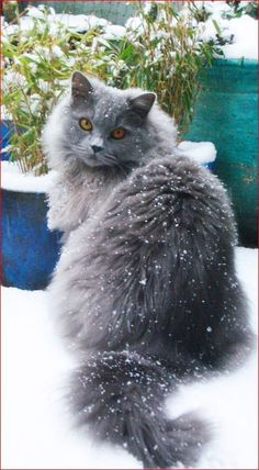 Outdoor cat sitting in the snow #snow #wintercat #longhaircat #outdoorcat