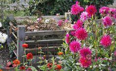 Gartenabfälle sind zu schade für die Mülltonne, denn als Kompost geben sie dem Boden Nährstoffe und wertvollen Humus zurück – er wird fruchtbarer und die Pflanzen wachsen sichtbar besser. Mit üppig blühenden Pflanzen – hier Dahlien und Zinnien – lässt sich der Kompostplatz sogar ansprechend gestalten