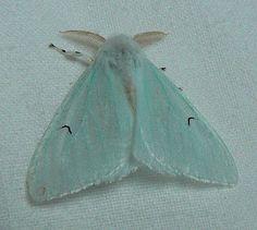 Black V Moth Brittany