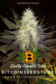 Blue Widow: a hybrid of Blueberry and White Widow.  http://www.bitcoinseedstore.com/blue-widow-dinafem  #cannabis #weed #marijuana #pot #bitcoin