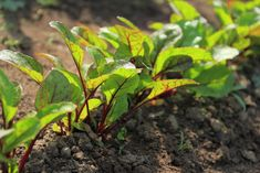 Túto zeleninu pestujte vedľa seba! Tieto kombinácie zaručia, že vám budú plodiť dvojnásobne viac a odplašia hmyz – radynadzlato.sk Gardening, Desserts, Beauty, Fashion, Vegetable Gardening, Plant, Beleza, Moda, La Mode