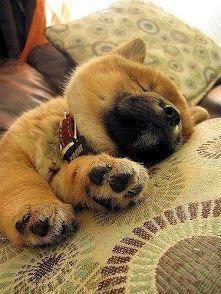 Sleeping baby Shiba... So Kawaii