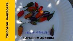 ⟹ Tricolor Variegata - Pepper BEAUTIFUL HOUSE PLANT!!