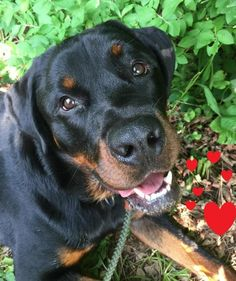 Meet Hooch, an adoptable Rottweiler Dog | Darlington, MD | Hooch, 1.5 - 2 year gorgeous, unbelievably sweet 98 lb male Rottweiler, he is up to date on his...