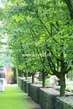 persian parrotia tree - Google Search