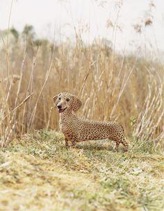 Faster than a speeding Corgi,   Louder than guarding Chihuahua,  It's a Cheetah, It's a Leopard,  No! It's the Speediest Dachshund on Earth! Super Dachshund!