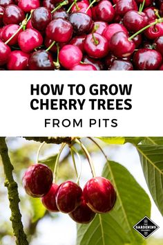 To Grow Cherry Trees From Pits Don't miss these gardening tips on growing cherry trees from pits. Learn how to save and start pits to grow your own cherry trees.Don't miss these gardening tips on growing cherry trees from pits. Learn how to save and start Cherry Tree From Seed, Growing Cherry Trees, Growing Tree, Diy Garden, Fruit Garden, Garden Trees, Terrace Garden, Trees To Plant, Growing Vegetables