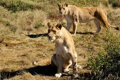 Female Lions watching the food truck arrive :) Botlierskop Private Game Reserve South Africa Game Reserve South Africa, Female Lion, Private Games, Food Truck, Lions, Photographs, Animals, Art, Art Background