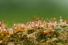 Water drops on moss - Une petite mousse - Water drops on moss - Une petite mousse