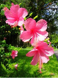 Beautiful Flowers Pictures, Beautiful Flowers Wallpapers, Beautiful Rose Flowers, Rare Flowers, Exotic Flowers, Flower Pictures, Hibiscus Plant, Hibiscus Flowers, Tropical Flowers