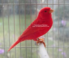 Special Promotion - Red Canary I want this bird, he can keep mine company & sing for us. Canary Bird For Sale, Canary Birds, Pretty Birds, Beautiful Birds, Parrot Craft, Birds For Sale, Flying With A Baby, Royal Colors, Buddha Art