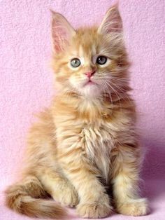 . http://www.mainecoonguide.com/what-is-the-average-maine-coon-lifespan/