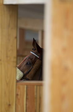 Hujaylea in the new saddling boxes Tipperary #behindthescenes Photo Patrick McCann 01.05.2013
