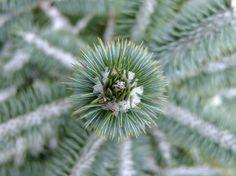 Piek dennenboom 1