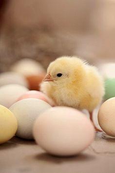 Sweet little Easter Chick by fotopastele