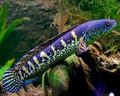 Golden Cobra Snakehead,(Channa aurantimaculata)Species Profile, Golden Cobra Snakehead,(Channa aurantimaculata)Care Instructions, Golden...