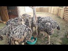 Doar un inceput,de fermă! - YouTube Camel, Youtube, The Originals, Animals, Farm Gate, Animales, Animaux, Camels, Animal