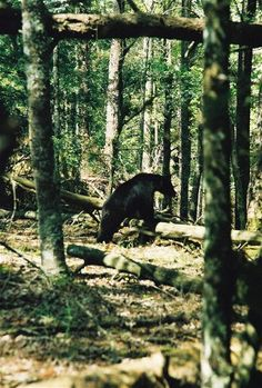 Black bears in the Smoky Mountains