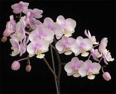 Phalaenopsis Rothschildiana (Phalaenopsis amabilis x Phalaenopsis schilleriana) Moth Orchid, Houseplants, Orchids, Flowers, Google Search, Cactus Care, Spring Garden, Indoor House Plants, Royal Icing Flowers