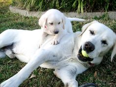 Legacy-labs.com raises Labradoodles also!! Hypoallergenic and NO SHEDDING!! GREAT for families with allergies and asthma! GREAT PARENTS make GREAT PUPS!!I really enjoy raising our beautiful WHITE labrador Retrievers at our ranch in TEXAS! www.legacy-labs.com is our website and www.facebook.com/legacylabradors is our Facebook page. We lovingly raise our gorgeous pups and are happy to answer any questions that you may have! Located in DALLAS TEXAS