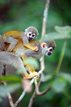 Monkeys in the Amazon, Brazil