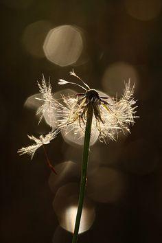 Dandelion Seeds by kasia-aus