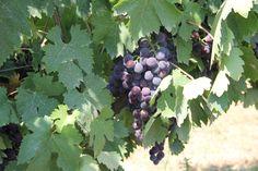 #Savalan #wine