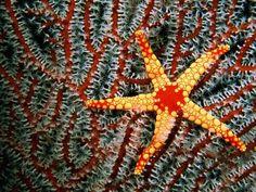 Estrella de mar de las Maldivas