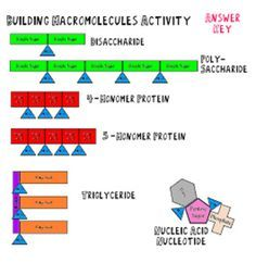 How do the four biological macromolecules differ chegg building macromolecules lab activity notes and review questions teacherspayteachers fandeluxe Choice Image